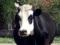 Корова, здорОво! Несколько вопросов о работе зоотехника
